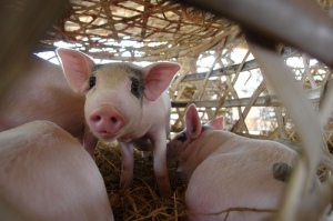 black-eyed pig