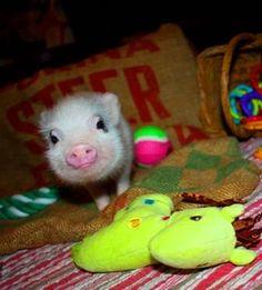 cute black eyed pig