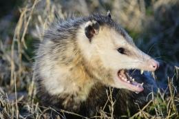 angrypossum2