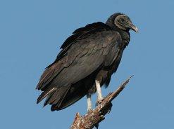 BirdofPrey_black-vulture