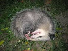playingpossum