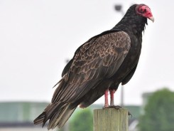turkey_vulture_1